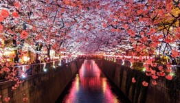 Cherry Blossom  – Korea 2019